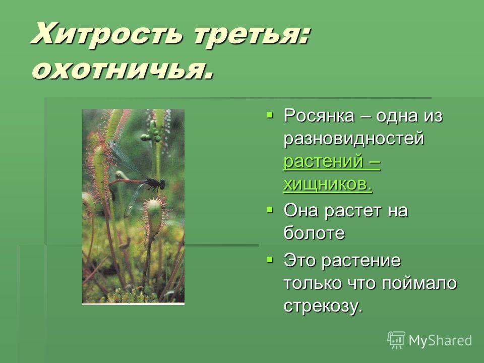 Хитрость третья: охотничья. Росянка – одна из разновидностей растений – хищников. Росянка – одна из разновидностей растений – хищников. растений – хищников. растений – хищников. Она растет на болоте Она растет на болоте Это растение только что поймал