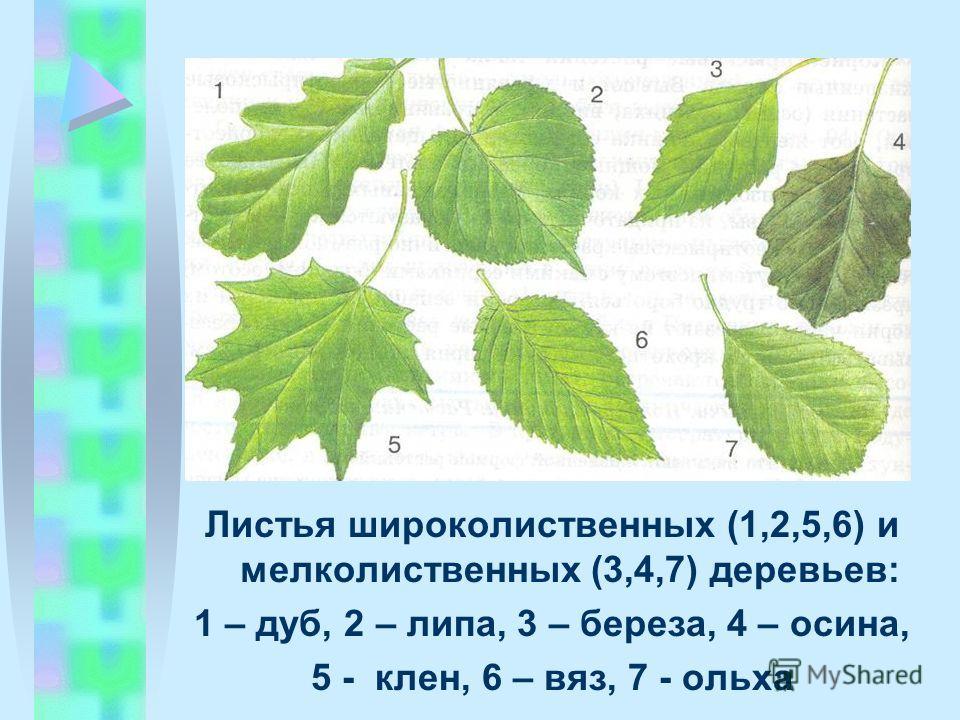Листья широколиственных (1,2,5,6) и мелколиственных (3,4,7) деревьев: 1 – дуб, 2 – липа, 3 – береза, 4 – осина, 5 - клен, 6 – вяз, 7 - ольха