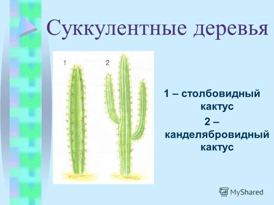 1 – столбовидный кактус 2 – канделябровидный кактус Суккулентные деревья