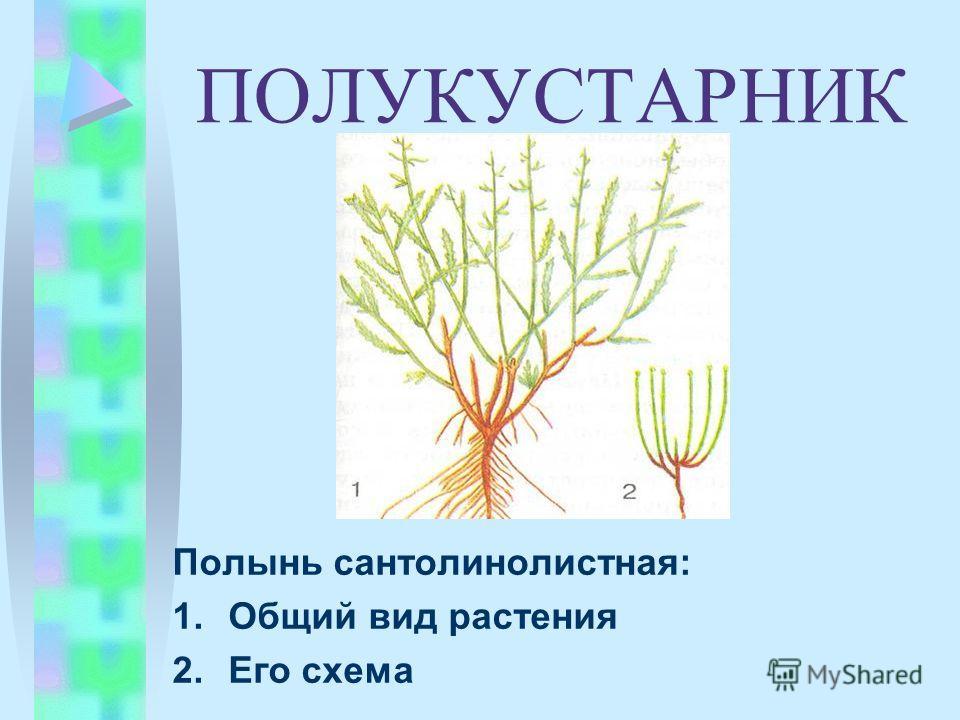 ПОЛУКУСТАРНИК Полынь сантолинолистная: 1.Общий вид растения 2.Его схема