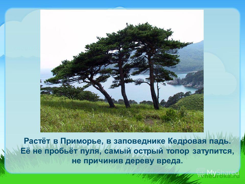 Растёт в Приморье, в заповеднике Кедровая падь. Её не пробьёт пуля, самый острый топор затупится, не причинив дереву вреда.