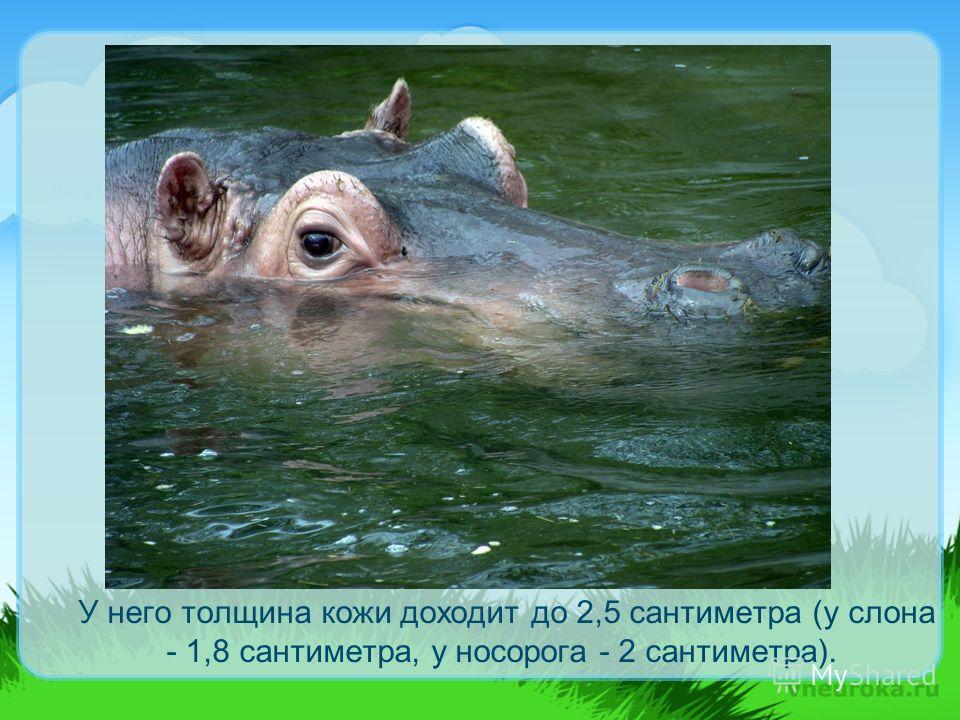 У него толщина кожи доходит до 2,5 сантиметра (у слона - 1,8 сантиметра, у носорога - 2 сантиметра).