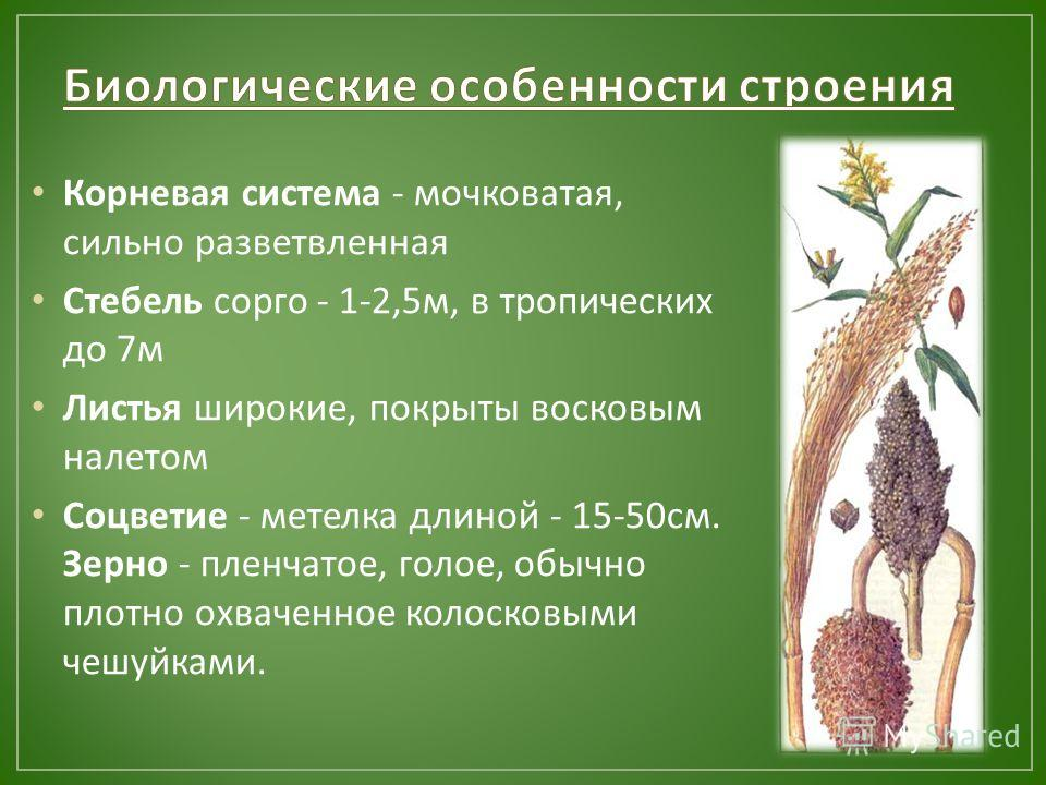 Корневая система - мочковатая, сильно разветвленная Стебель сорго - 1-2,5 м, в тропических до 7 м Листья широкие, покрыты восковым налетом Соцветие - метелка длиной - 15-50 см. Зерно - пленчатое, голое, обычно плотно охваченное колосковыми чешуйками.