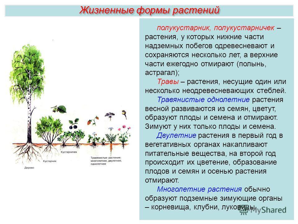 Жизненные формы растений полукустарник, полукустарничек – растения, у которых нижние части надземных побегов одревесневают и сохраняются несколько лет, а верхние части ежегодно отмирают (полынь, астрагал); Травы – растения, несущие один или несколько