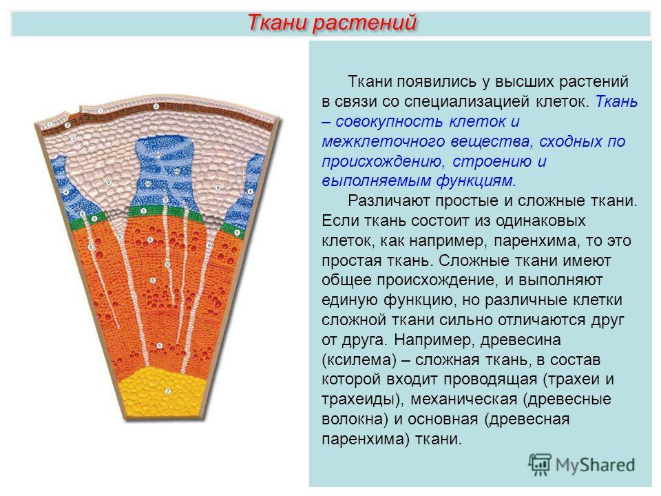 Ткани растений Ткани появились у высших растений в связи со специализацией клеток. Ткань – совокупность клеток и межклеточного вещества, сходных по происхождению, строению и выполняемым функциям. Различают простые и сложные ткани. Если ткань состоит