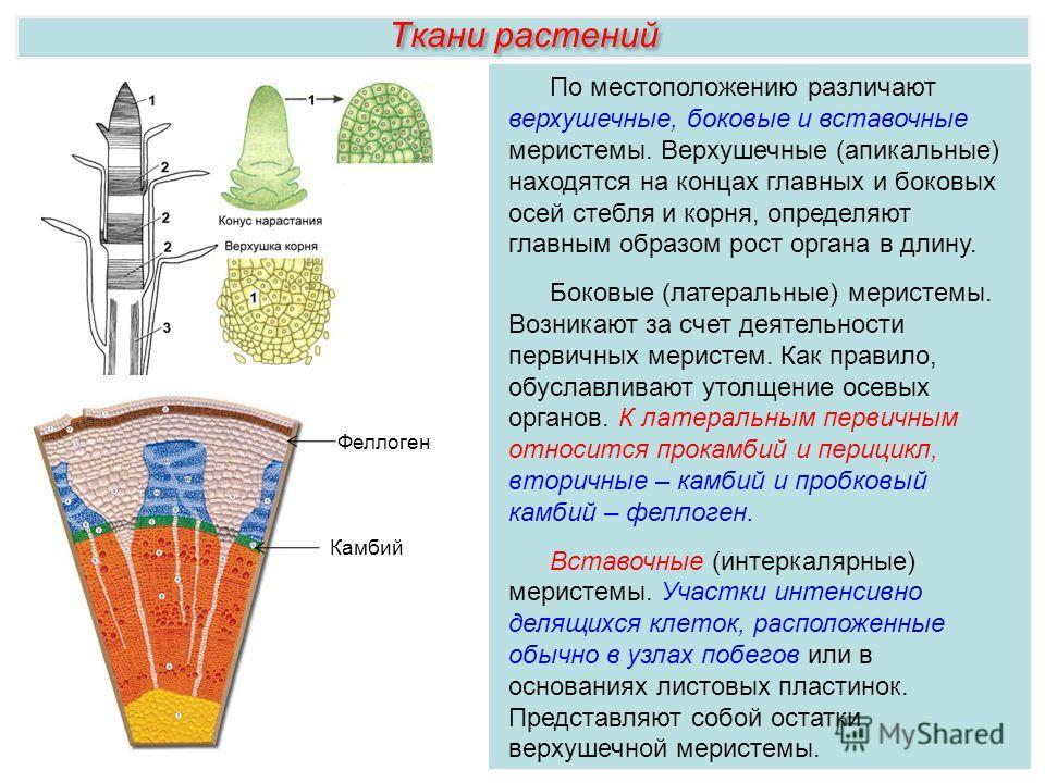 Ткани растений По местоположению различают верхушечные, боковые и вставочные меристемы. Верхушечные (апикальные) находятся на концах главных и боковых осей стебля и корня, определяют главным образом рост органа в длину. Боковые (латеральные) меристем