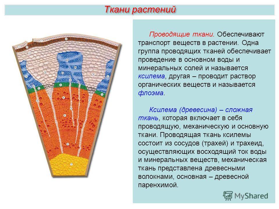 Ткани растений Проводящие ткани. Обеспечивают транспорт веществ в растении. Одна группа проводящих тканей обеспечивает проведение в основном воды и минеральных солей и называется ксилема, другая – проводит раствор органических веществ и называется фл