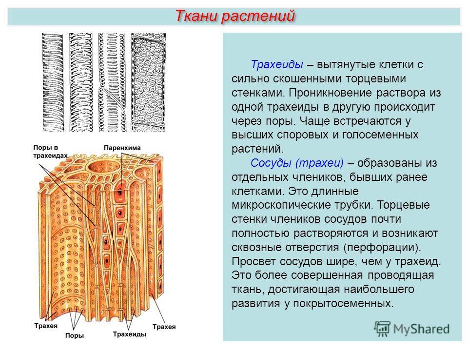 Ткани растений Трахеиды – вытянутые клетки с сильно скошенными торцевыми стенками. Проникновение раствора из одной трахеиды в другую происходит через поры. Чаще встречаются у высших споровых и голосеменных растений. Сосуды (трахеи) – образованы из от