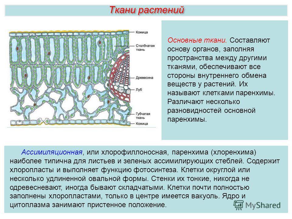 Ткани растений Ассимиляционная, или хлорофиллоносная, паренхима (хлоренхима) наиболее типична для листьев и зеленых ассимилирующих стеблей. Содержит хлоропласты и выполняет функцию фотосинтеза. Клетки округлой или несколько удлиненной овальной формы.