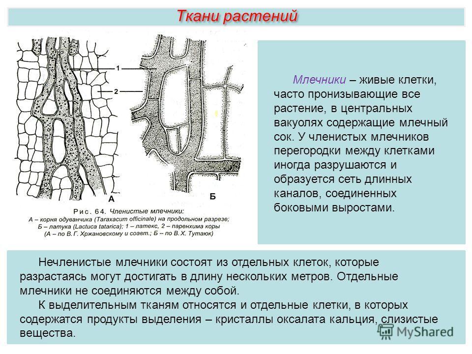 Ткани растений Нечленистые млечники состоят из отдельных клеток, которые разрастаясь могут достигать в длину нескольких метров. Отдельные млечники не соединяются между собой. К выделительным тканям относятся и отдельные клетки, в которых содержатся п