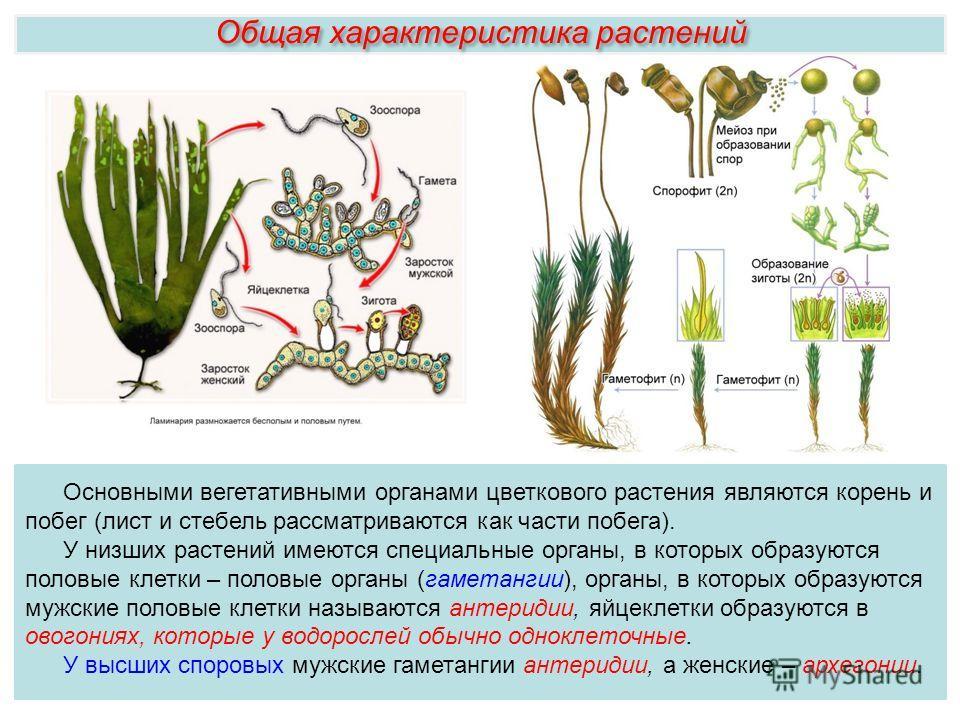Основными вегетативными органами цветкового растения являются корень и побег (лист и стебель рассматриваются как части побега). У низших растений имеются специальные органы, в которых образуются половые клетки – половые органы (гаметангии), органы, в