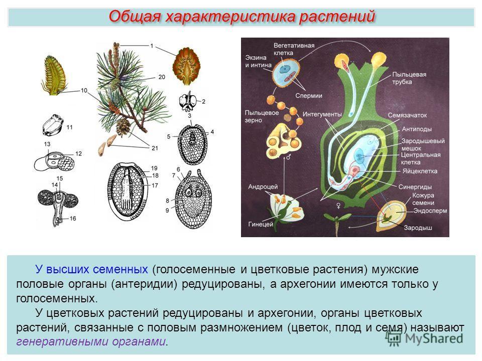 У высших семенных (голосеменные и цветковые растения) мужские половые органы (антеридии) редуцированы, а архегонии имеются только у голосеменных. У цветковых растений редуцированы и архегонии, органы цветковых растений, связанные с половым размножени