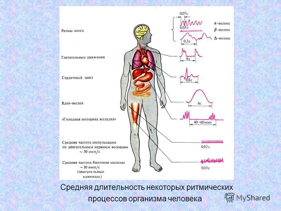 Средняя длительность некоторых ритмических процессов организма человека