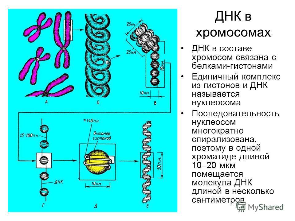 ДНК в хромосомах ДНК в составе хромосом связана с белками-гистонами Единичный комплекс из гистонов и ДНК называется нуклеосома Последовательность нуклеосом многократно спирализована, поэтому в одной хроматиде длиной 10–20 мкм помещается молекула ДНК