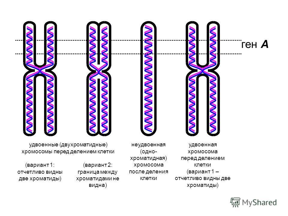 (вариант 2: граница между хроматидами не видна) ген А удвоенные (двухроматидные) хромосомы перед делением клетки удвоенная хромосома перед делением клетки (вариант 1 – отчетливо видны две хроматиды) (вариант 1: отчетливо видны две хроматиды) неудвоен