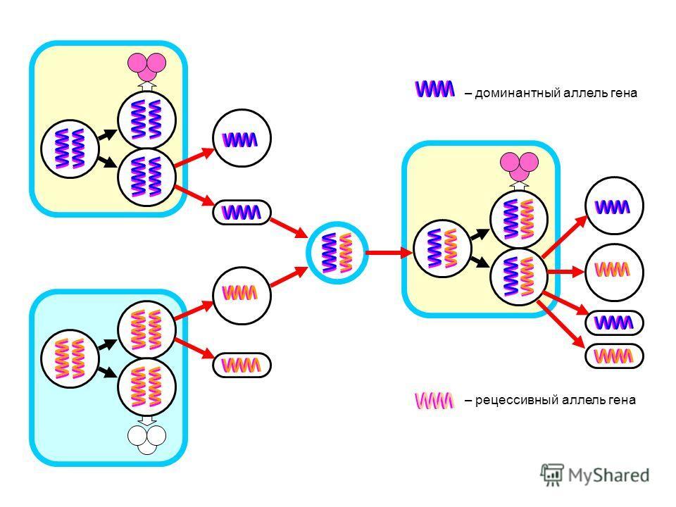 – рецессивный аллель гена – доминантный аллель гена