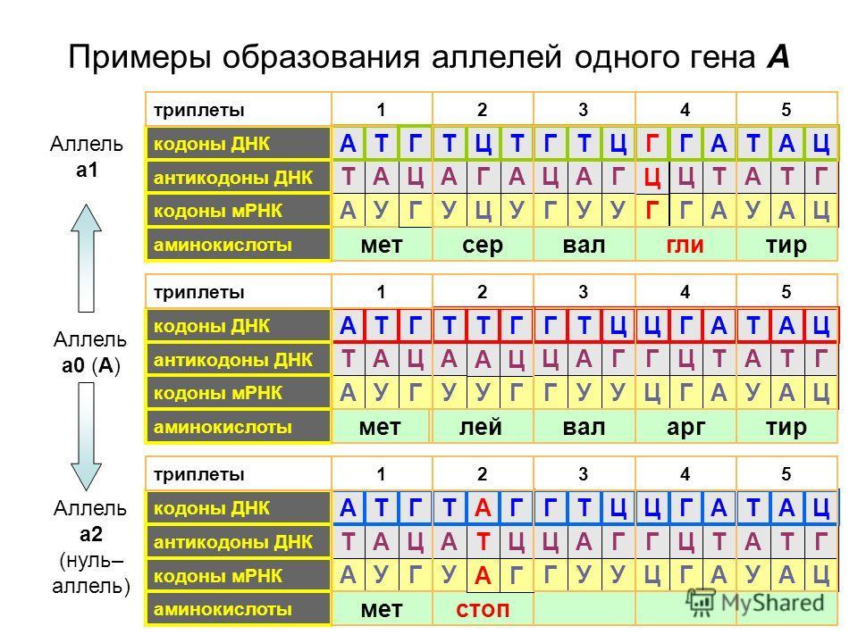 Примеры образования аллелей одного гена А 54 5314 32 Аллель а1 мет аминокислоты валглитир Т А Т А Г Ц Г Ц А Т Ц Г А Т А Т Т А антикодоны ДНК кодоны ДНК А А Ц Г Г ЦУГУУУА кодоны мРНК триплеты2 сер Г Ц ЦА Т А Т ГЦУУ леймет аминокислоты валаргтир Т А Т