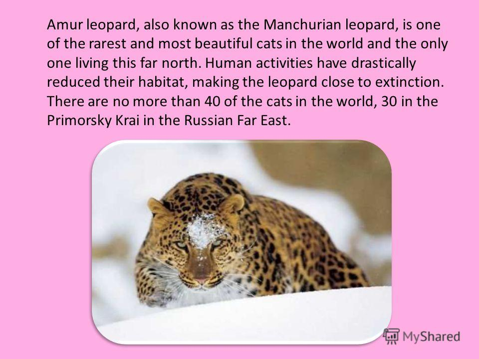 Amur leopard, also known as the Manchurian leopard, is one of the rarest and most beautiful cats in the world and the only one living this far north. Human activities have drastically reduced their habitat, making the leopard close to extinction. The