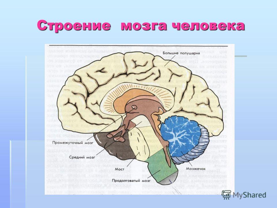 Строение мозга человека