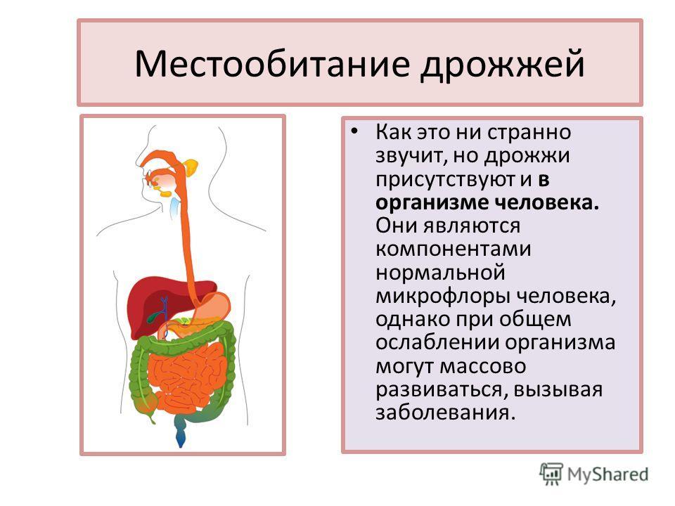 Местообитание дрожжей Как это ни странно звучит, но дрожжи присутствуют и в организме человека. Они являются компонентами нормальной микрофлоры человека, однако при общем ослаблении организма могут массово развиваться, вызывая заболевания.