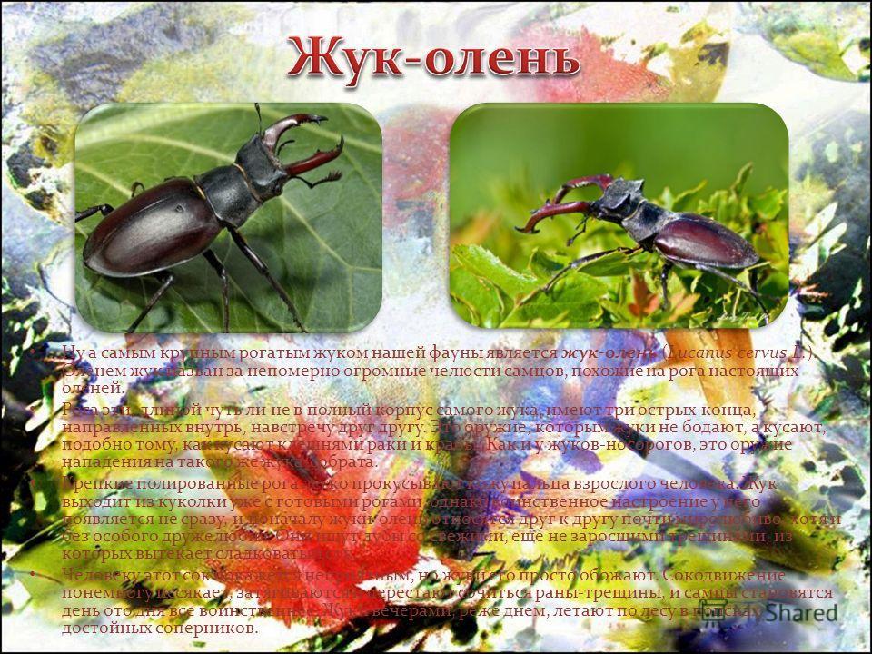 Ну а самым крупным рогатым жуком нашей фауны является жук-олень (Lucanus cervus L.). Оленем жук назван за непомерно огромные челюсти самцов, похожие на рога настоящих оленей. Рога эти, длиной чуть ли не в полный корпус самого жука, имеют три острых к