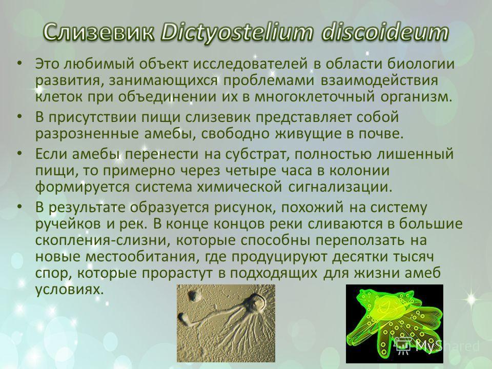 Это любимый объект исследователей в области биологии развития, занимающихся проблемами взаимодействия клеток при объединении их в многоклеточный организм. В присутствии пищи слизевик представляет собой разрозненные амебы, свободно живущие в почве. Ес