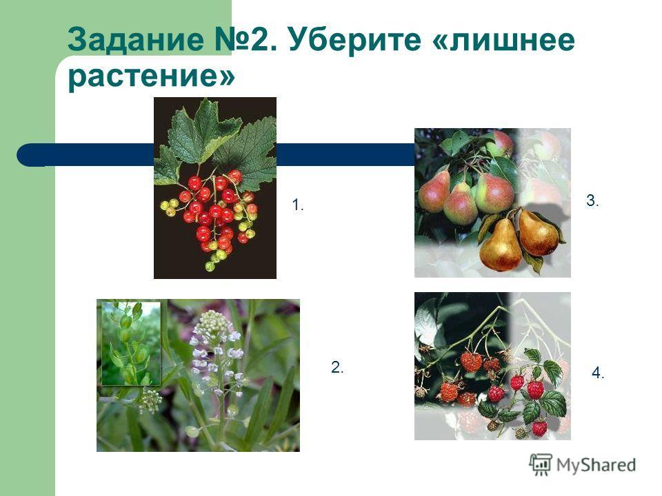 Задание 2. Уберите «лишнее растение» 1. 2. 3. 4.