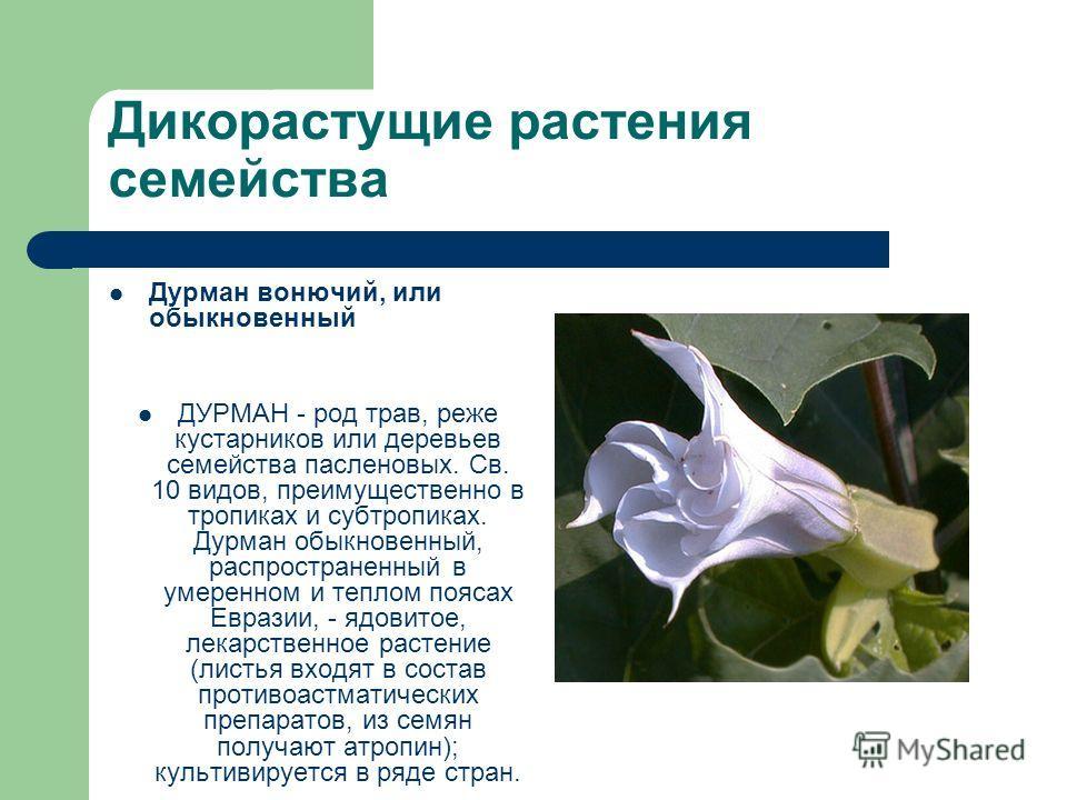 Дикорастущие растения семейства Дурман вонючий, или обыкновенный ДУРМАН - род трав, реже кустарников или деревьев семейства пасленовых. Св. 10 видов, преимущественно в тропиках и субтропиках. Дурман обыкновенный, распространенный в умеренном и теплом