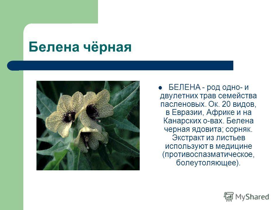 Белена чёрная БЕЛЕНА - род одно- и двулетних трав семейства пасленовых. Ок. 20 видов, в Евразии, Африке и на Канарских о-вах. Белена черная ядовита; сорняк. Экстракт из листьев используют в медицине (противоспазматическое, болеутоляющее).
