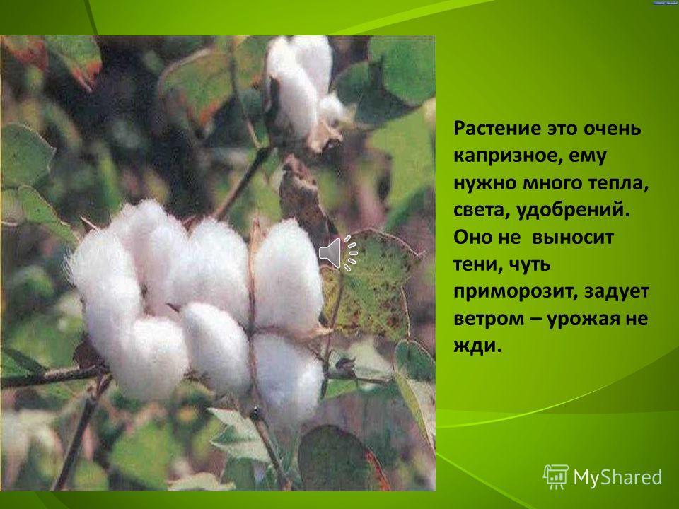 Ведущие страны, которые выращивают хлопок – это Индия, Узбекистан, США, Бразилия, Пакистан.