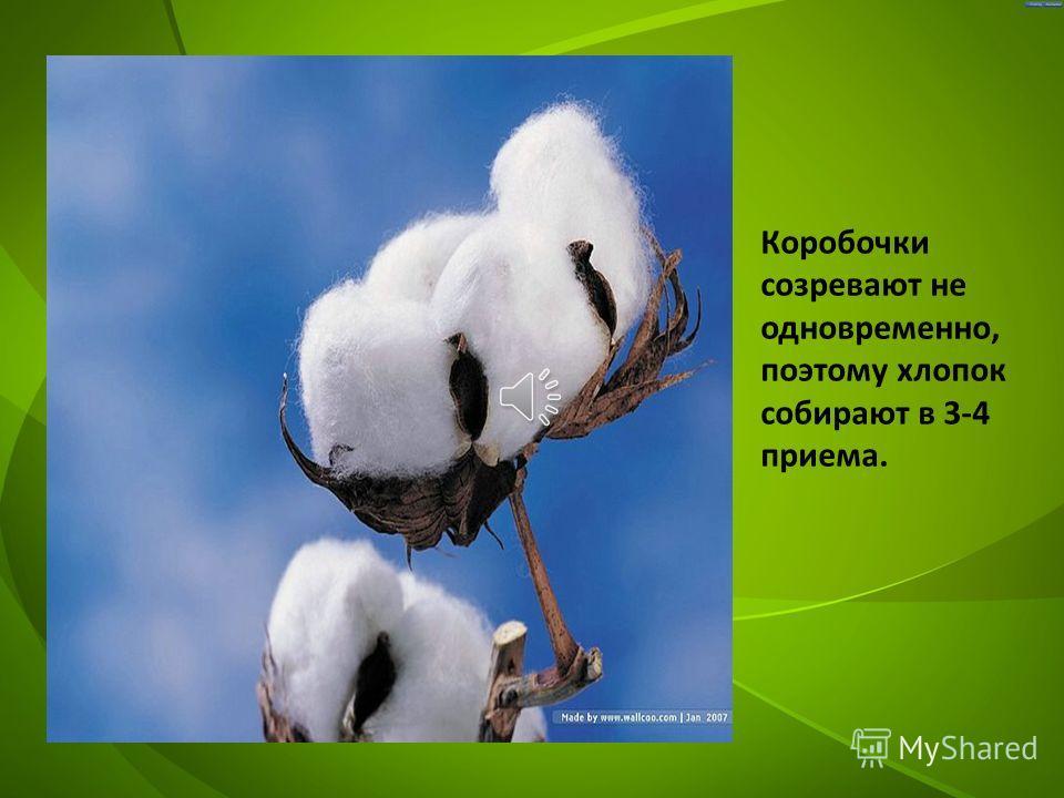 В каждом гнезде от 5до11 семян. На каждом семени развивается от 5до 15 тысяч волокон длиной 3-5см. Ради этих волокон и выращивают хлопчатник.