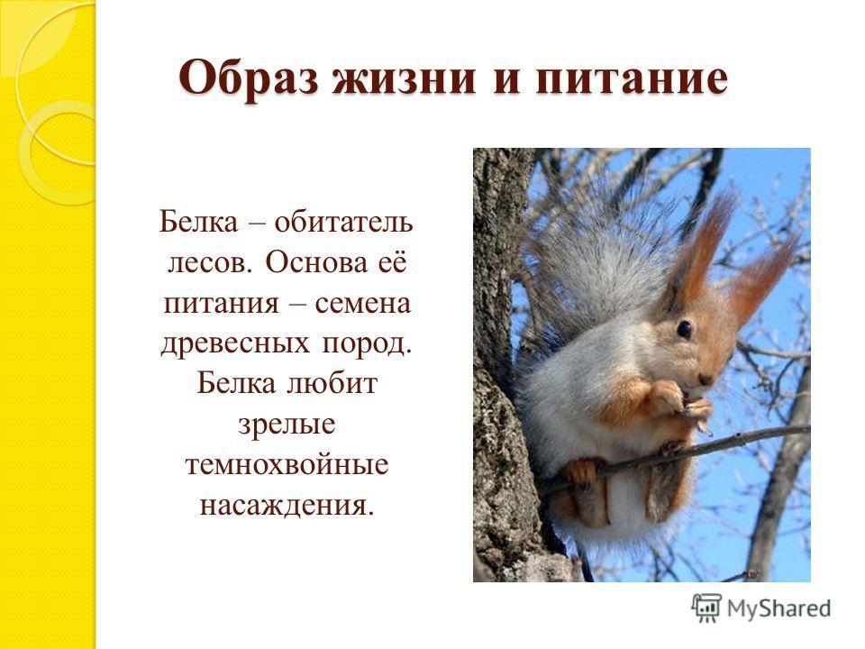 Образ жизни и питание Белка – обитатель лесов. Основа её питания – семена древесных пород. Белка любит зрелые темнохвойные насаждения.