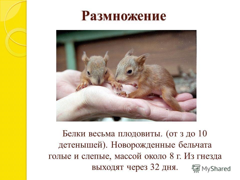 Размножение Белки весьма плодовиты. (от з до 10 детенышей). Новорожденные бельчата голые и слепые, массой около 8 г. Из гнезда выходят через 32 дня.
