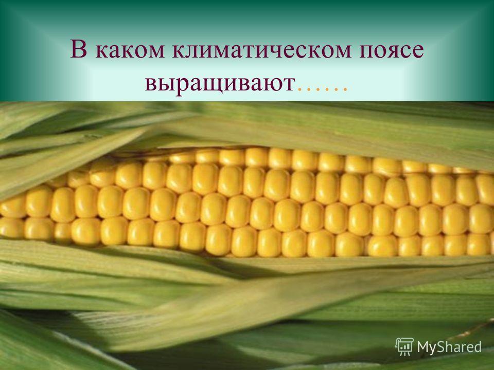 В каком климатическом поясе выращивают……