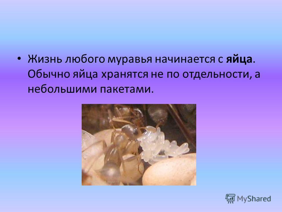 Жизнь любого муравья начинается с яйца. Обычно яйца хранятся не по отдельности, а небольшими пакетами.
