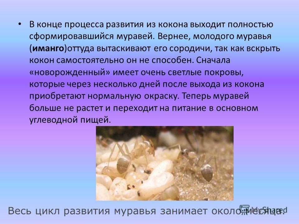 В конце процесса развития из кокона выходит полностью сформировавшийся муравей. Вернее, молодого муравья (иманго)оттуда вытаскивают его сородичи, так как вскрыть кокон самостоятельно он не способен. Сначала «новорожденный» имеет очень светлые покровы