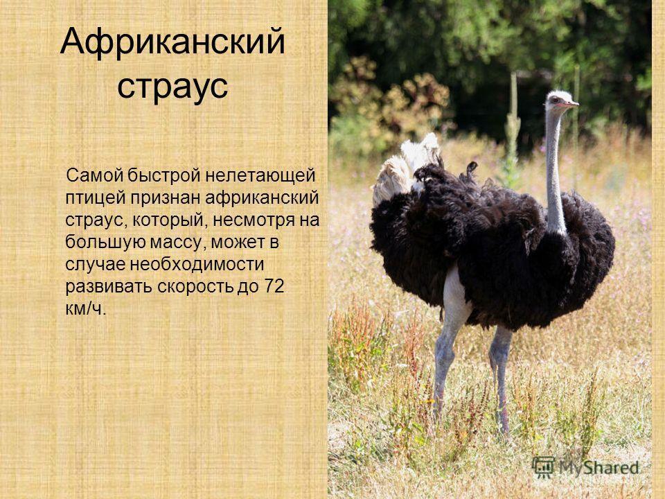 Африканский страус Самой быстрой нелетающей птицей признан африканский страус, который, несмотря на большую массу, может в случае необходимости развивать скорость до 72 км/ч.