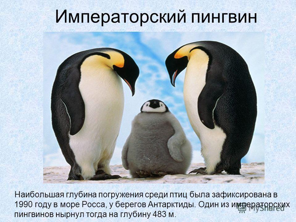 Императорский пингвин Наибольшая глубина погружения среди птиц была зафиксирована в 1990 году в море Росса, у берегов Антарктиды. Один из императорских пингвинов нырнул тогда на глубину 483 м.