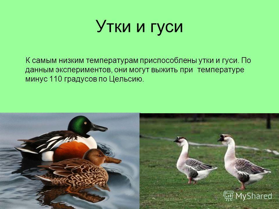 Утки и гуси К самым низким температурам приспособлены утки и гуси. По данным экспериментов, они могут выжить при температуре минус 110 градусов по Цельсию.
