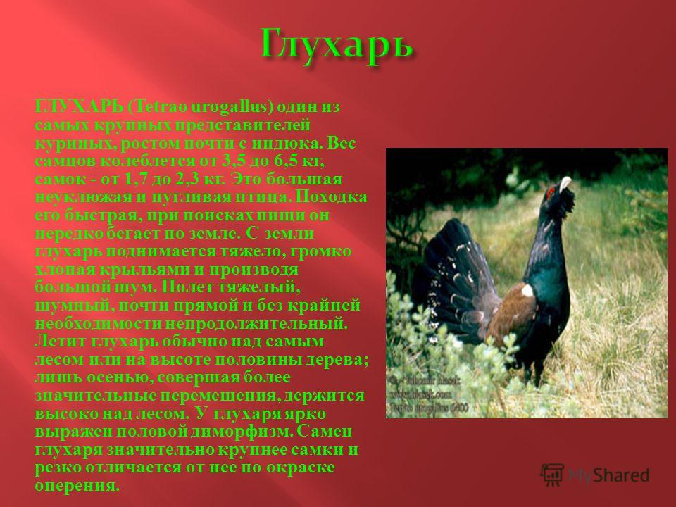 ГЛУХАРЬ (Tetrao urogallus) один из самых крупных представителей куриных, ростом почти с индюка. Вес самцов колеблется от 3,5 до 6,5 кг, самок - от 1,7 до 2,3 кг. Это большая неуклюжая и пугливая птица. Походка его быстрая, при поисках пищи он нередко