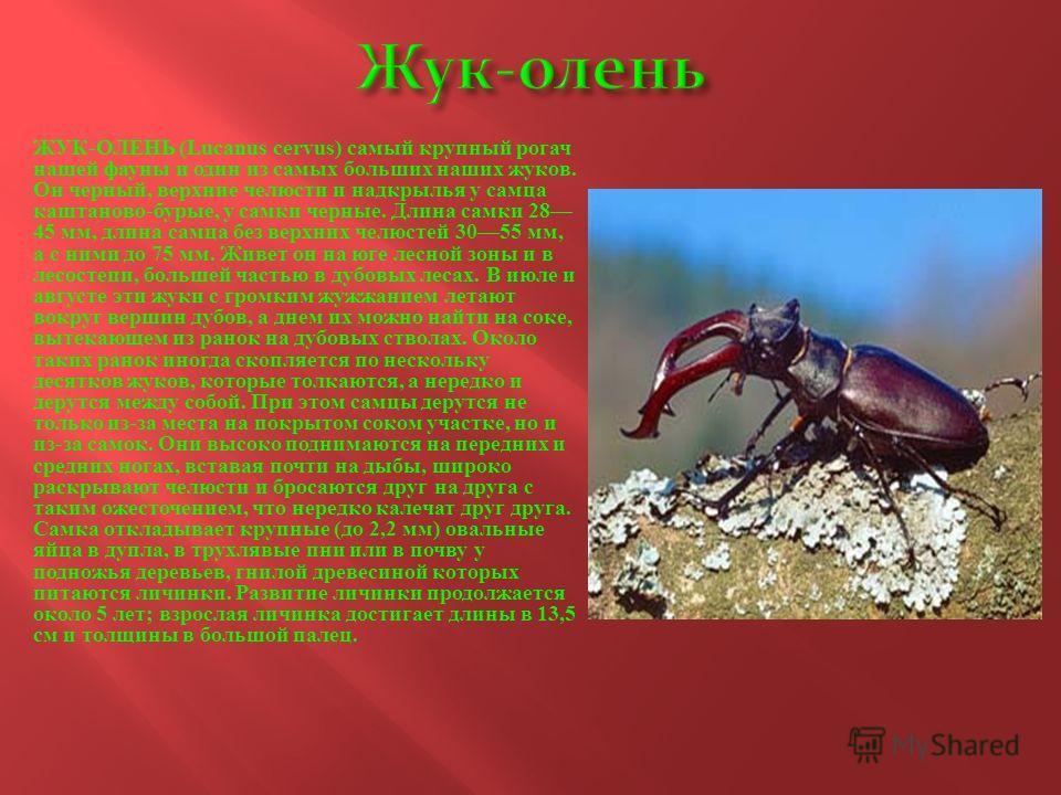 ЖУК - ОЛЕНЬ (Lucanus cervus) самый крупный рогач нашей фауны и один из самых больших наших жуков. Он черный, верхние челюсти и надкрылья у самца каштаново - бурые, у самки черные. Длина самки 28 45 мм, длина самца без верхних челюстей 3055 мм, а с ни