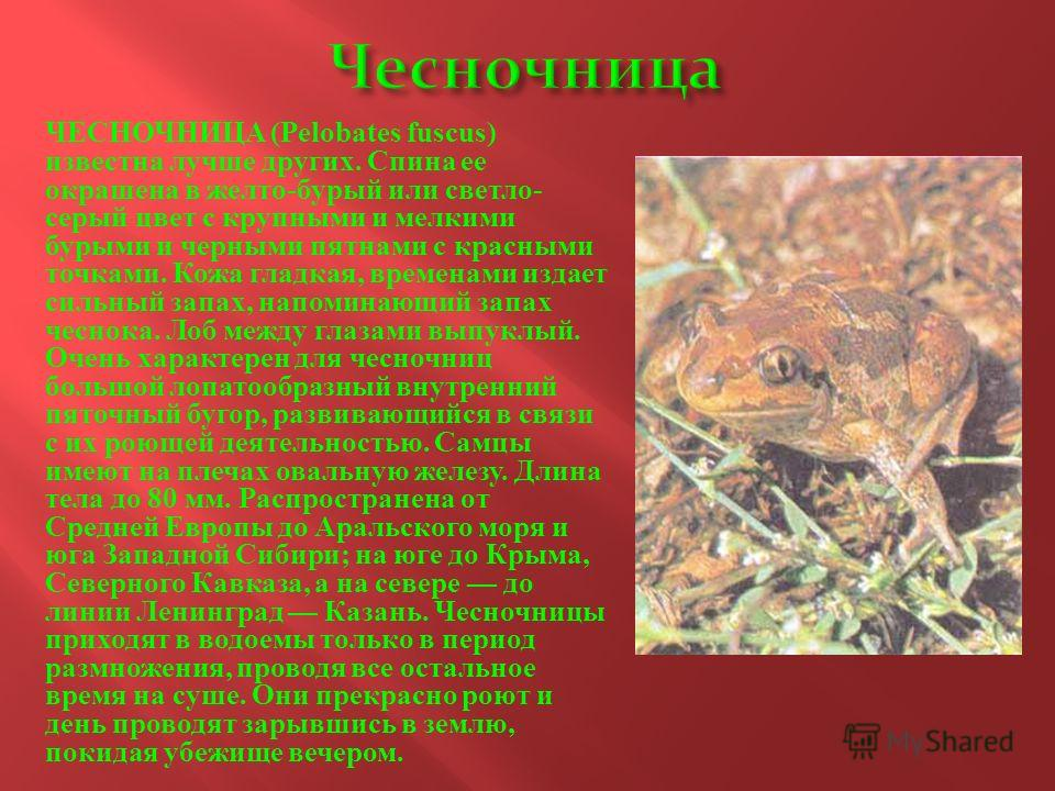 ЧЕСНОЧНИЦА (Pelobates fuscus) известна лучше других. Спина ее окрашена в желто - бурый или светло - серый цвет с крупными и мелкими бурыми и черными пятнами с красными точками. Кожа гладкая, временами издает сильный запах, напоминающий запах чеснока.