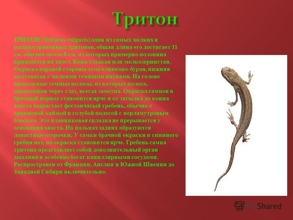 ТРИТОН (Triturus vulgaris) один из самых мелких и распространенных тритонов, общая длина его достигает 11 см, обычно около 8 см, из которых примерно половина приходится на хвост. Кожа гладкая или мелкозернистая. Окраска верхней стороны тела оливково