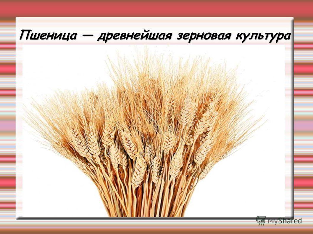 Пшеница древнейшая зерновая культура