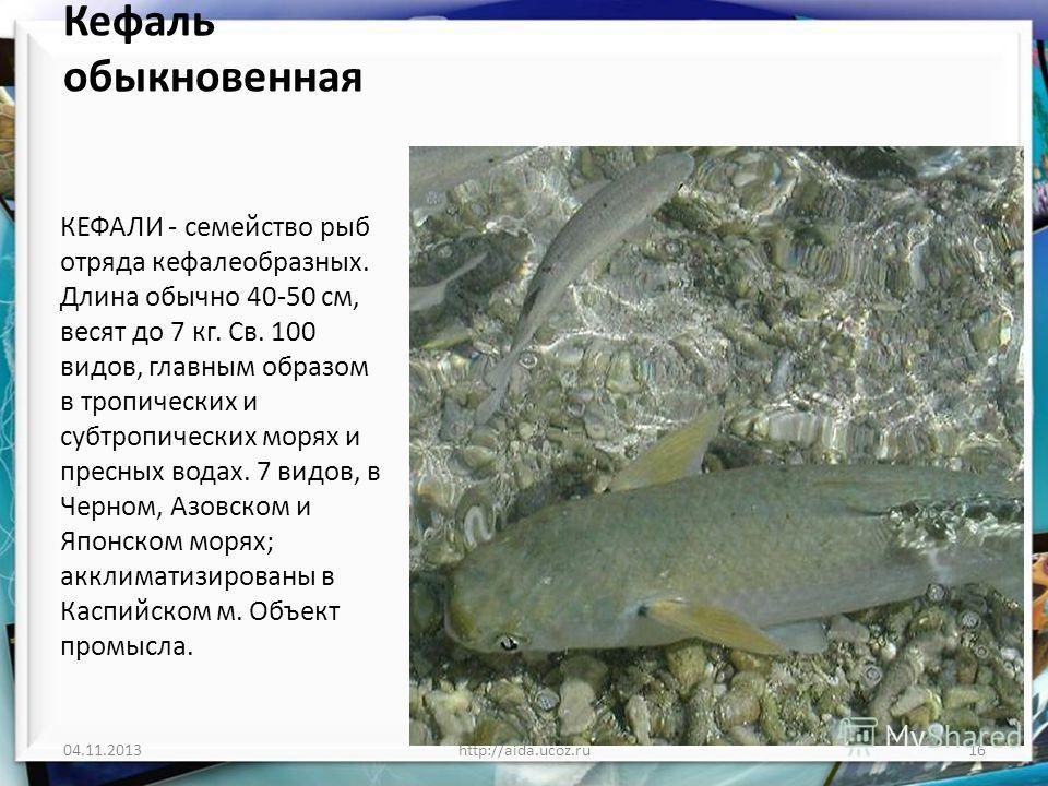 Кефаль обыкновенная КЕФАЛИ - семейство рыб отряда кефалеобразных. Длина обычно 40-50 см, весят до 7 кг. Св. 100 видов, главным образом в тропических и субтропических морях и пресных водах. 7 видов, в Черном, Азовском и Японском морях; акклиматизирова