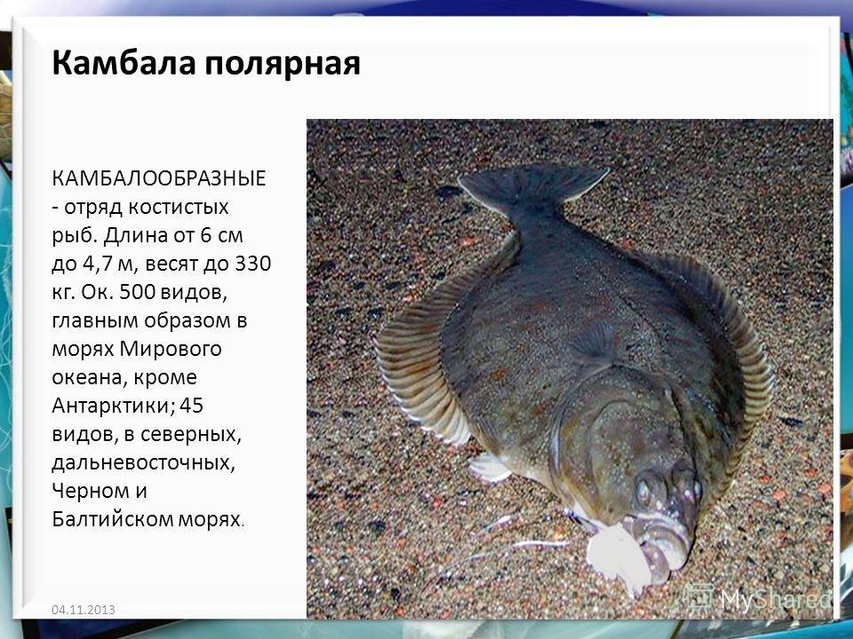 Камбала полярная КАМБАЛООБРАЗНЫЕ - отряд костистых рыб. Длина от 6 см до 4,7 м, весят до 330 кг. Ок. 500 видов, главным образом в морях Мирового океана, кроме Антарктики; 45 видов, в северных, дальневосточных, Черном и Балтийском морях. 04.11.2013htt