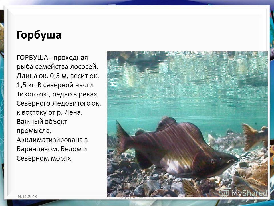 Горбуша ГОРБУША - проходная рыба семейства лососей. Длина ок. 0,5 м, весит ок. 1,5 кг. В северной части Тихого ок., редко в реках Северного Ледовитого ок. к востоку от р. Лена. Важный объект промысла. Акклиматизирована в Баренцевом, Белом и Северном