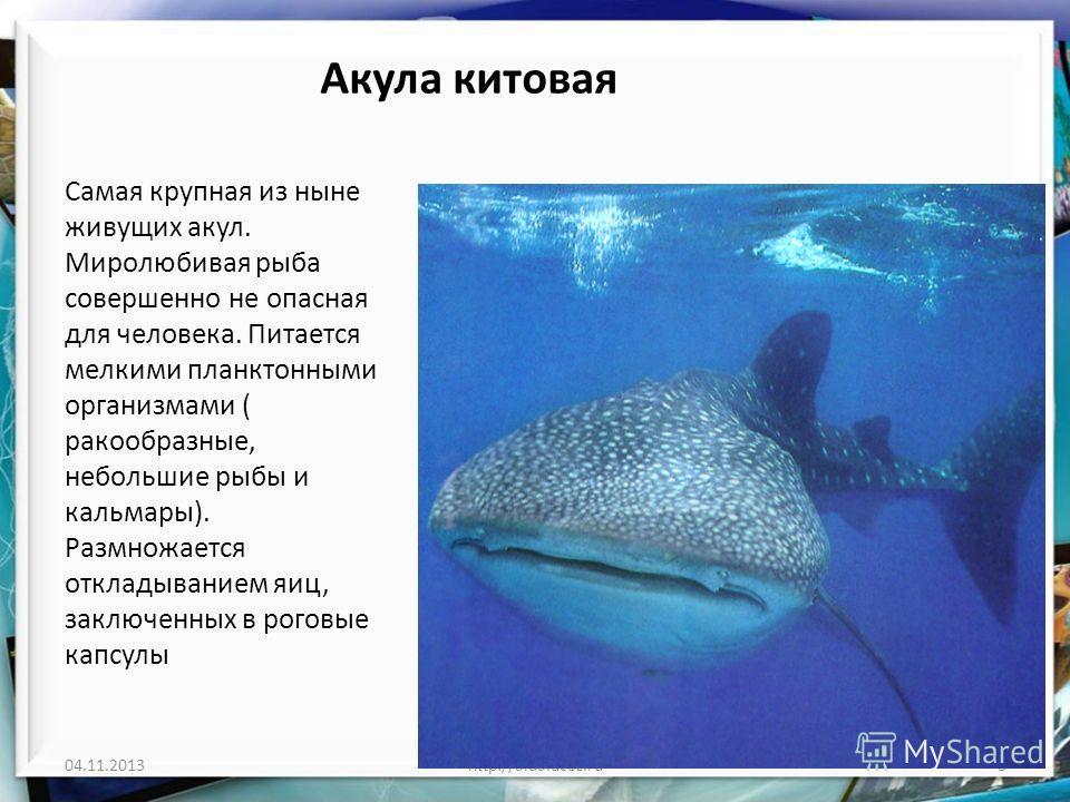 Акула китовая Самая крупная из ныне живущих акул. Миролюбивая рыба совершенно не опасная для человека. Питается мелкими планктонными организмами ( ракообразные, небольшие рыбы и кальмары). Размножается откладыванием яиц, заключенных в роговые капсулы