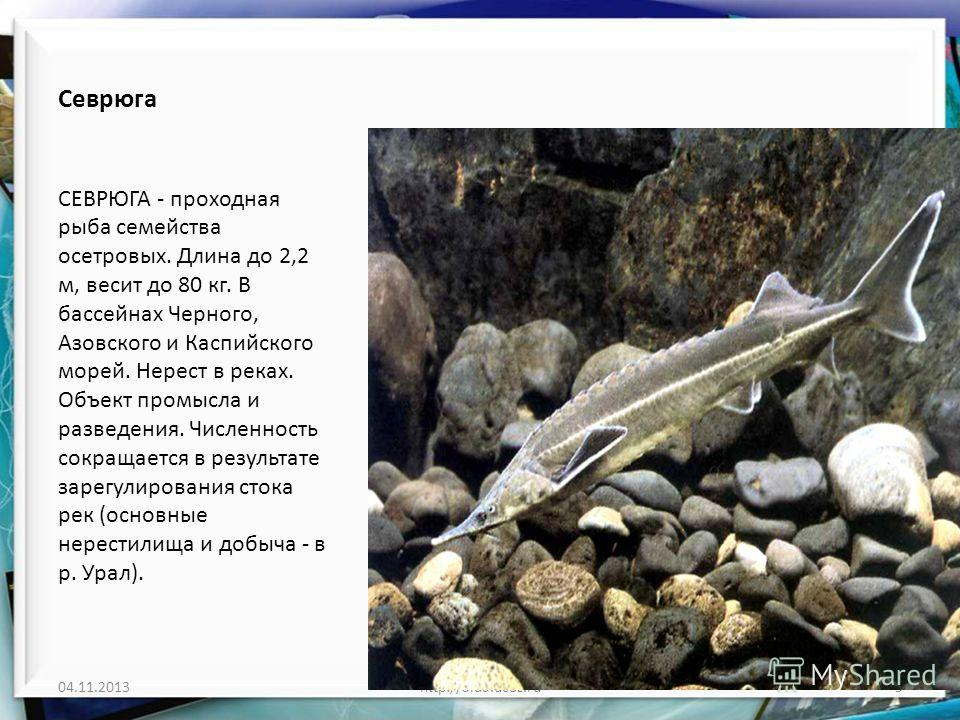 Севрюга СЕВРЮГА - проходная рыба семейства осетровых. Длина до 2,2 м, весит до 80 кг. В бассейнах Черного, Азовского и Каспийского морей. Нерест в реках. Объект промысла и разведения. Численность сокращается в результате зарегулирования стока рек (ос
