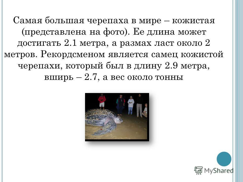 Самая большая черепаха в мире – кожистая (представлена на фото). Ее длина может достигать 2.1 метра, а размах ласт около 2 метров. Рекордсменом является самец кожистой черепахи, который был в длину 2.9 метра, вширь – 2.7, а вес около тонны